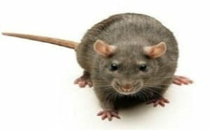best rat trap